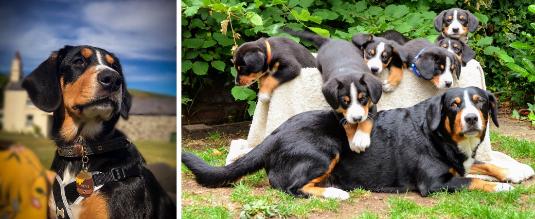 Entlebucher Puppies