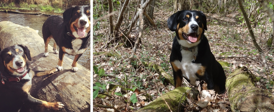 Entlebucher Mountain Dogs