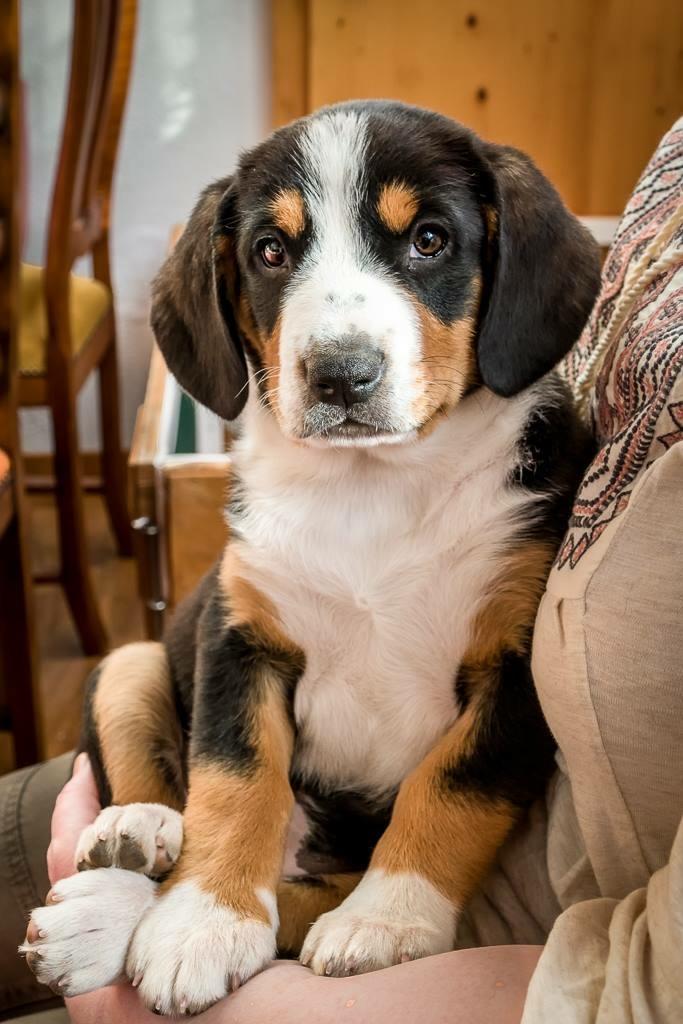Puppies – Entlebucher Mountain Dog Club of Great Britain